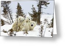 Polar Bear Ursus Maritimus Mother And Cubs Greeting Card