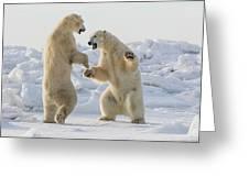 Polar Bears  Ursus Maritimus  Sparring Greeting Card