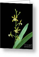 Pollardia Pterocarpa. Greeting Card