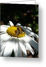 Pollen Collection Daisy  Greeting Card