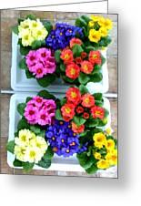 Polyanthus Primroses Greeting Card
