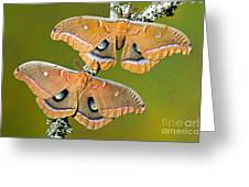 Polyphemus Moths Greeting Card
