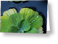 Pond Lettuce Greeting Card