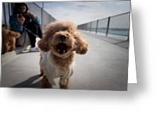 Poodle Dog Greeting Card