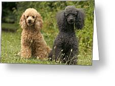 Poodle Dogs Greeting Card