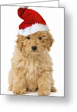 Poodle In Christmas Hat Greeting Card