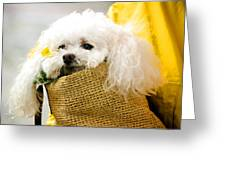 Poodle In Pouch Greeting Card