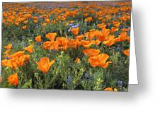 Poppy Perfection Greeting Card