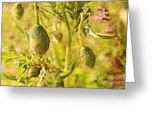 Poppy Pods Greeting Card