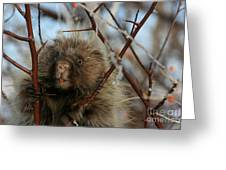 Porcupine And Berries Greeting Card