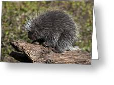 Porcupine Looking For Food Greeting Card