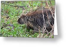 Porcupine Greeting Card