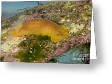Porostome Nudibranch Greeting Card