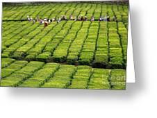 Porto Formoso Tea Gardens Greeting Card