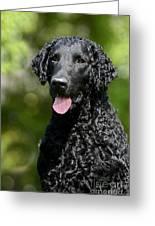 Portrait Black Curly Coated Retriever Dog Greeting Card