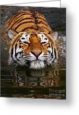 Portrait Of A Bathing Siberian Tiger Greeting Card