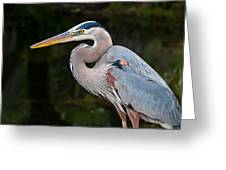 Portrait Of A Blue Heron Greeting Card