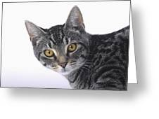 Portrait Of A Grey Tabby Catvancouver Greeting Card