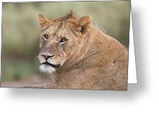 Portrait Of A Lioness, Panthera Leo Greeting Card