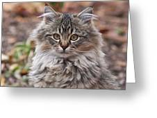 Portrait Of A Maine Coon Kitten Greeting Card
