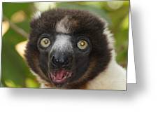 portrait of a sifaka from Madagascar Greeting Card
