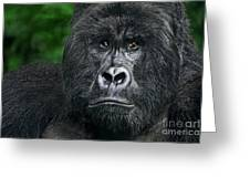 Portrait Of A Wild Mountain Gorilla Silverbackhighly Endangered Greeting Card