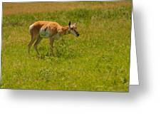 Portrait Of A Young Pronghorn Greeting Card