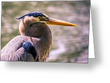 Portrait Of Ardea Herodias Greeting Card