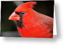 Portrait Of Male Cardinal Greeting Card