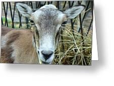 Portrait Of Mouflon Ewe Greeting Card