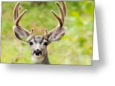 Portrait Of Mule Deer Buck With Velvet Antler  Greeting Card