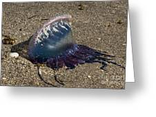Portuguese Man-o War Beached Greeting Card