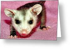 Poser Possum Greeting Card