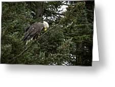 Posing Bald Eagle Greeting Card