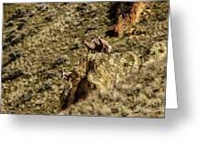 Posing Bighorn Sheep Greeting Card