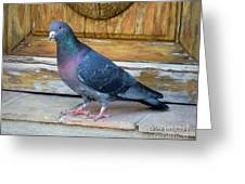 Posing Pigeon  Greeting Card