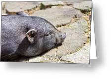 Potbelly Pig Greeting Card