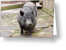 Potbelly Pig Standing Greeting Card
