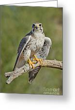 Praire Falcon On Dead Branch Greeting Card