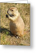 Prairie Dog Feeding On The Meadows At The Devil's Tower Greeting Card