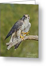 Prairie Falcon Greeting Card