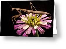 Praying Mantis On Zinnia Greeting Card