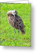 Preening Curlew Greeting Card