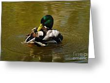Preening Mallard Greeting Card