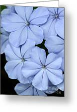 Prettiest Plumbago Greeting Card