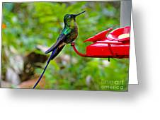 Pretty Blue-tailed Hummer In Mindo Greeting Card