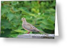 Pretty Dove Greeting Card