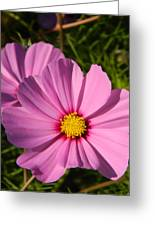 Pretty In Pink Cosmos Greeting Card