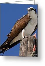 Prey For The Osprey Greeting Card