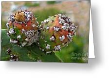Prickly Pear With Cochineal Bugs Greeting Card